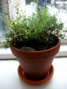 Lemon thyme on window lo)