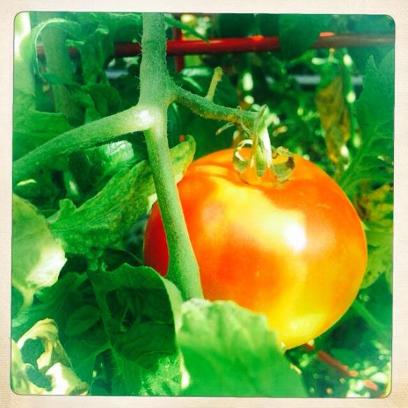 Tomato_NE_3