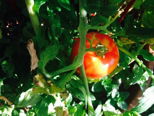 Tomato_NE_5