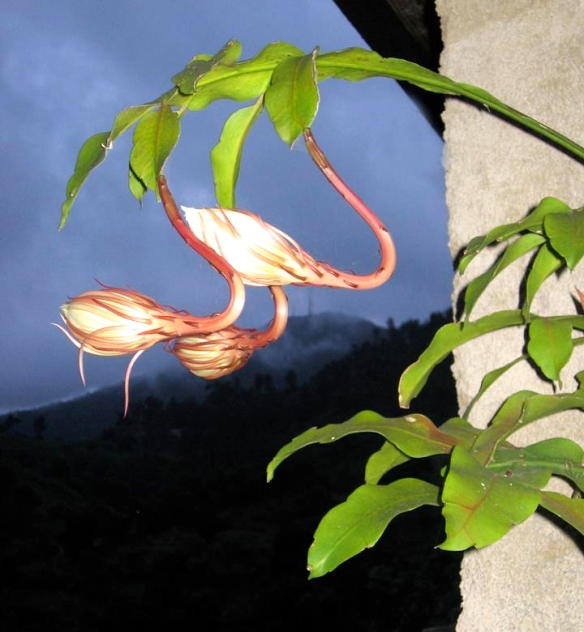 Night blooming CEREUS ready to open