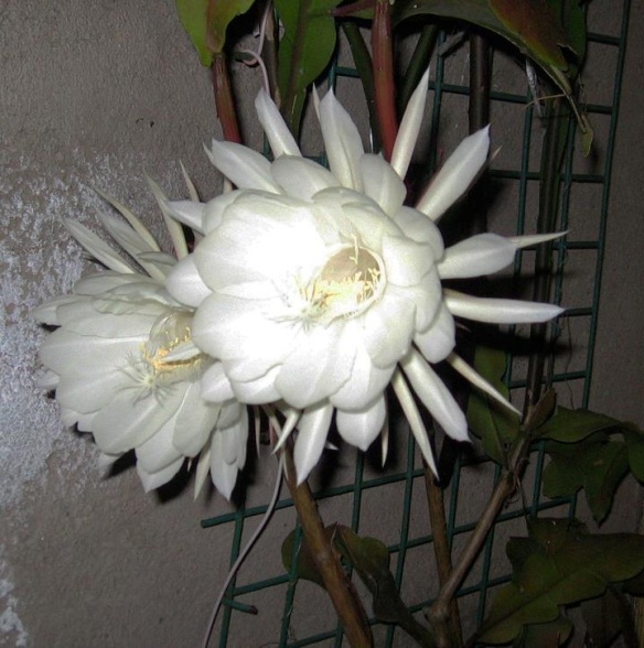 Night blooming CEREUS. Very fragrant and blooms only at night.