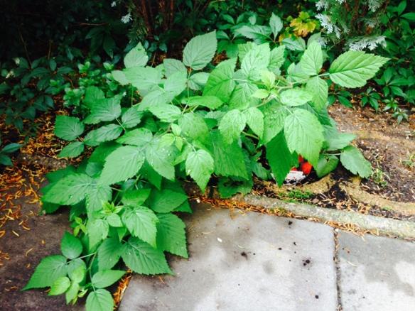 Phil_Raspberries