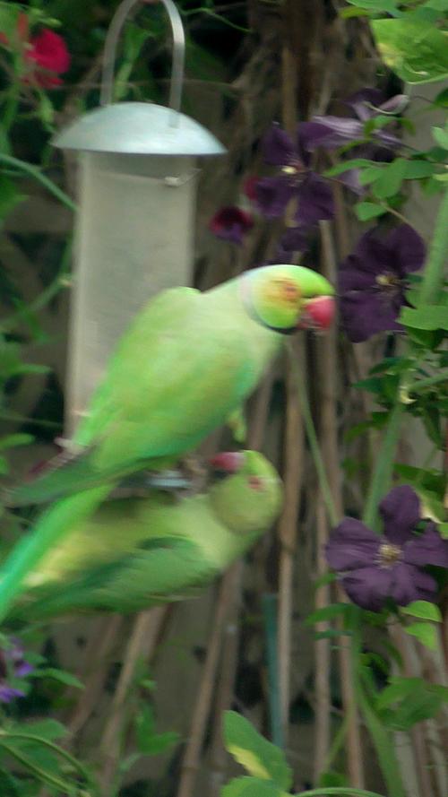 Vic_parakeets
