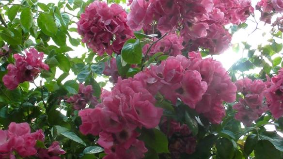 Vics wild roses