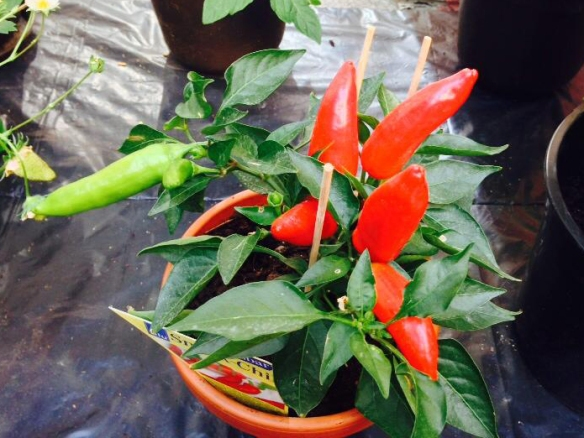 worlds hottest chilli