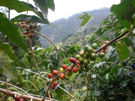 Coffee_Bush