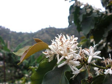 Coffee_Flower