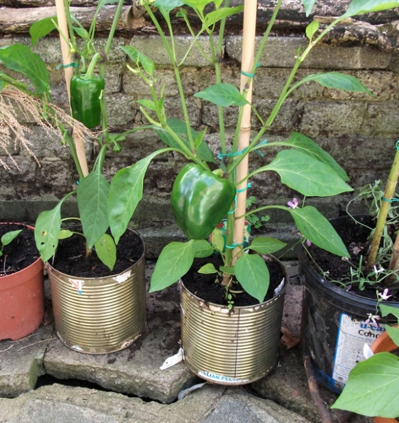 peppers in tins