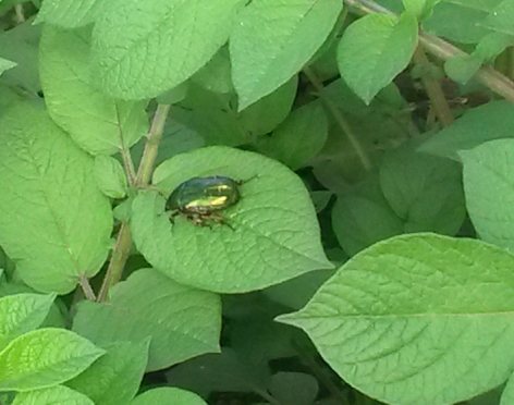 Rose chafer beetle_Fliss