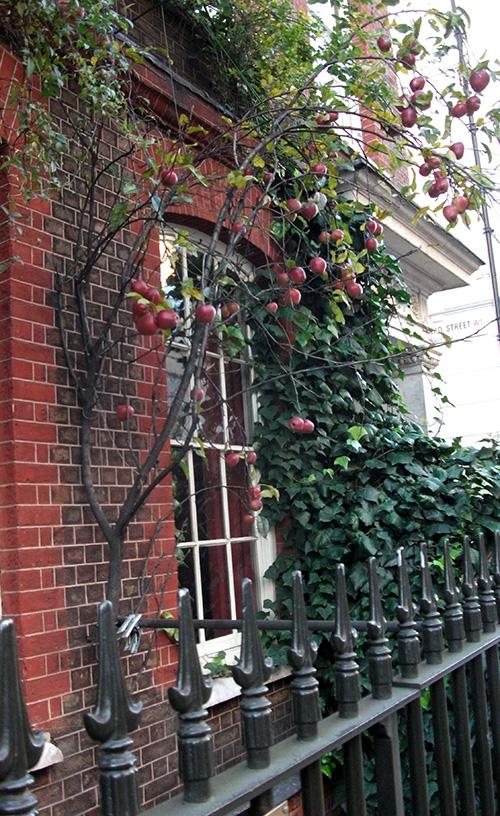 Apple tree_3
