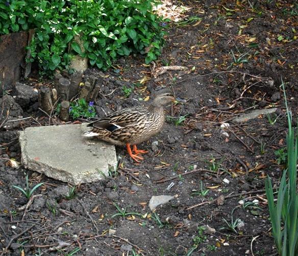Duckrock_2