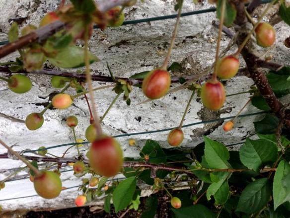Mike P_Sour Morello Cherries