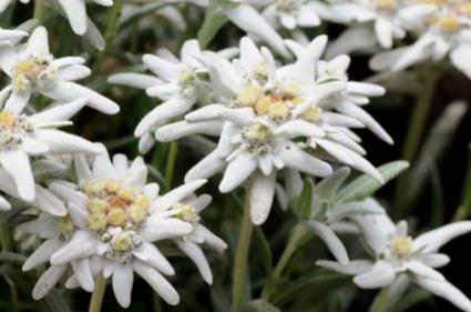Nice eidelweiss