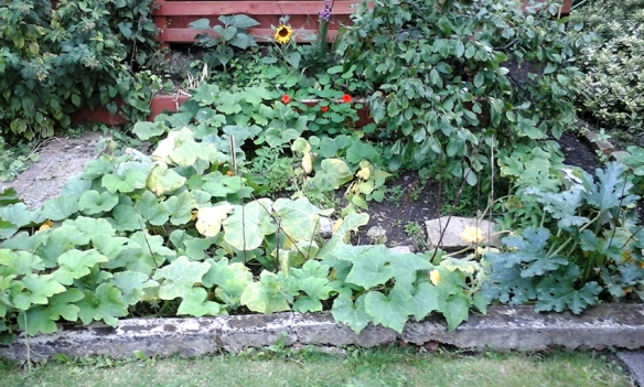 squash plant all over the place