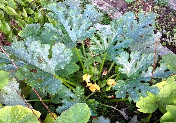 weeds courgettes