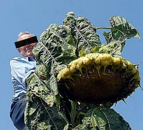 massive sunflowers