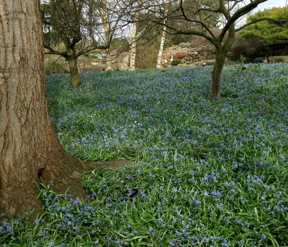 blue bells at kew