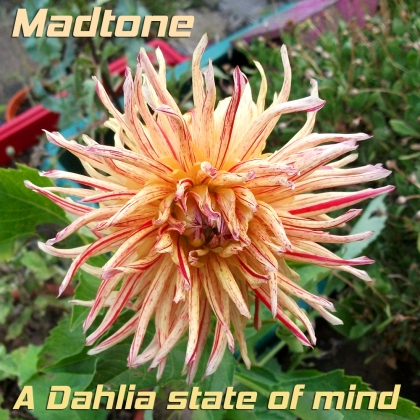 Madtone_ A Dahlia state of mine cover
