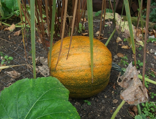 yellow-pumpkin